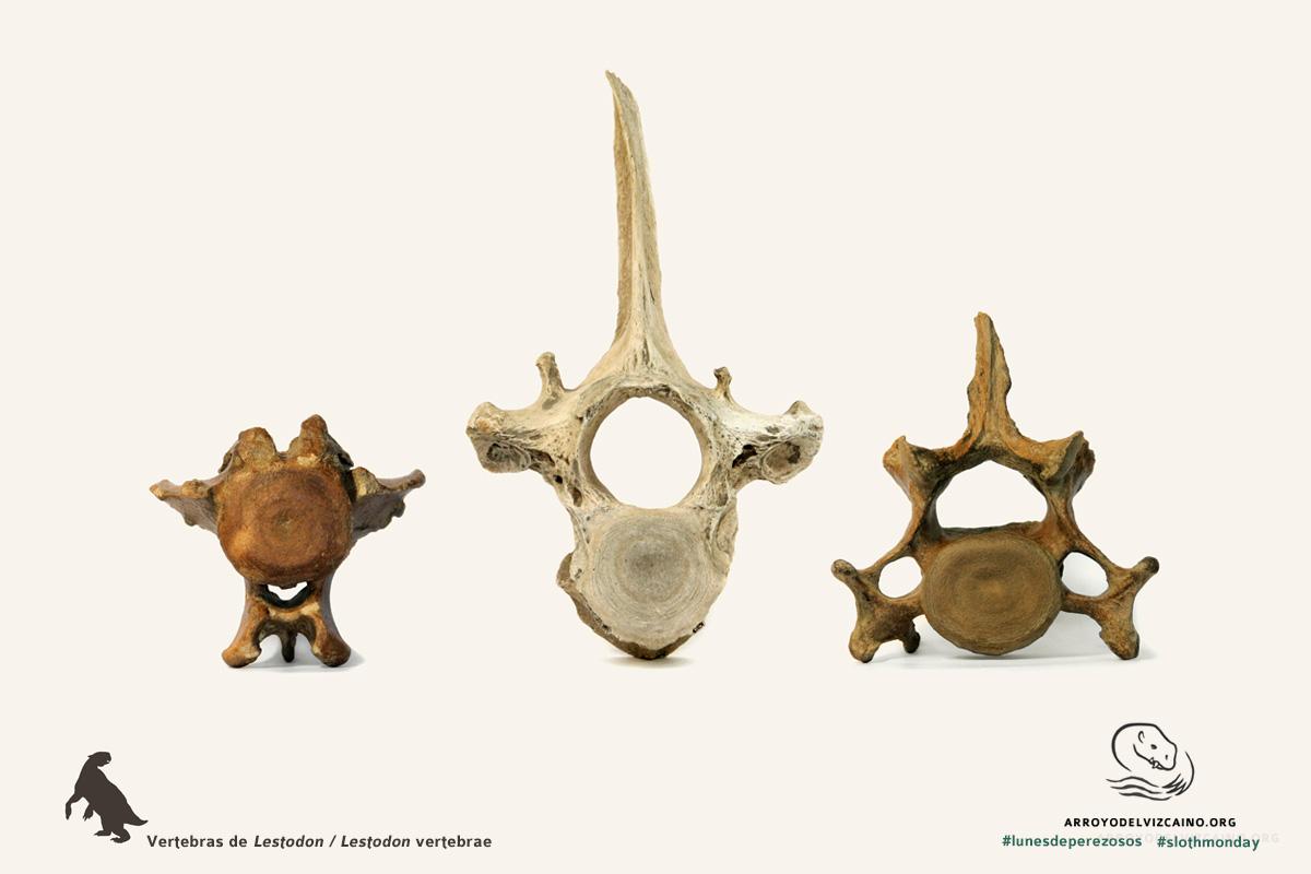 vertebras de lestodon